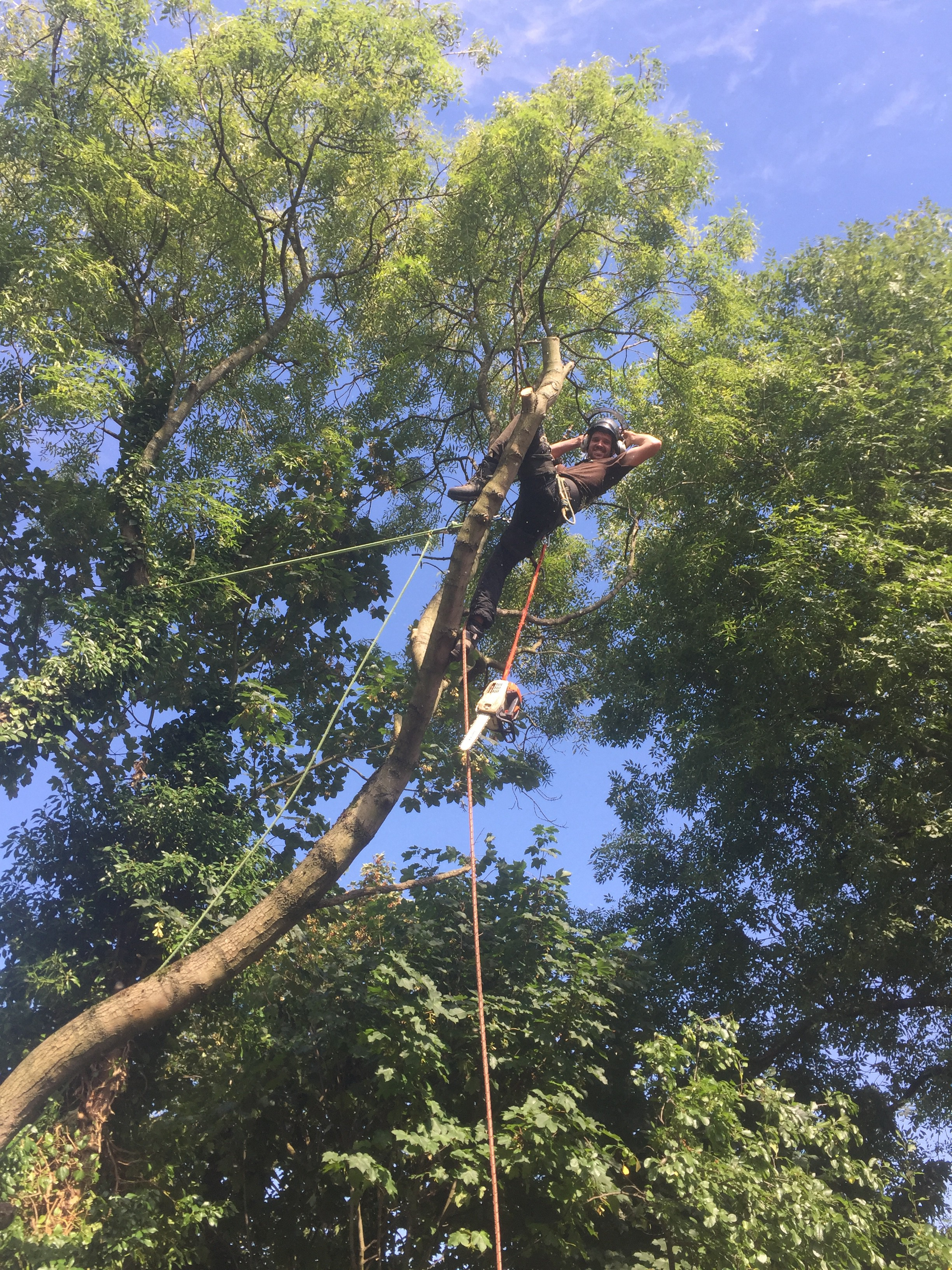 Crown Tree Surgeons ltd make light work of a Ash Tree removal in Bexley